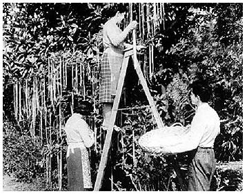 Spaghetti Harvest 1957